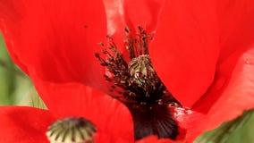 Primer de la flor de la amapola almacen de metraje de vídeo