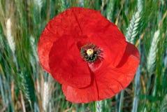 Primer de la flor de la amapola de campo Imágenes de archivo libres de regalías