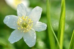 Primer de la flor de la anémona en el rocío de la mañana Fotografía de archivo