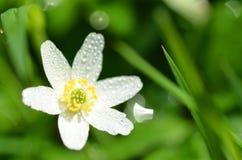 Primer de la flor de la anémona en el rocío de la mañana Imagen de archivo libre de regalías