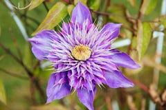 Primer de la flor de la clemátide Fotografía de archivo libre de regalías