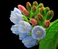 Primer de la flor de la consuelda Imágenes de archivo libres de regalías