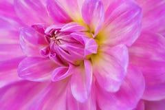 Primer de la flor de la dalia Foto de archivo libre de regalías