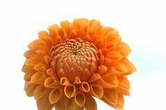 Primer de la flor de la dalia fotos de archivo libres de regalías
