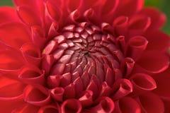 Primer de la flor de la dalia fotografía de archivo libre de regalías