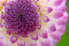 Primer de la flor de la dalia foto de archivo