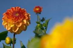 Primer de la flor de la dalia fotos de archivo