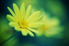 Primer de la flor de la margarita Fotografía de archivo