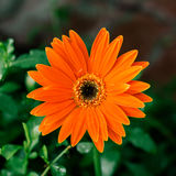Primer de la flor de la margarita anaranjada Fotos de archivo libres de regalías