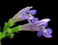 primer de la flor de la Muerto-ortiga Foto de archivo libre de regalías