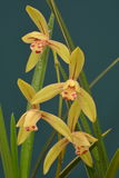 Primer de la flor de la orquídea Imágenes de archivo libres de regalías