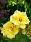 Primer de la flor de la rosa del amarillo Fotos de archivo