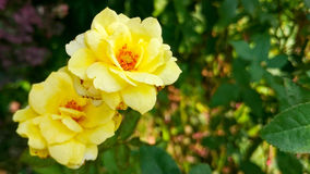 Primer de la flor de la rosa del amarillo Fotografía de archivo libre de regalías