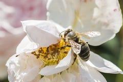 Primer de la flor de la rosa del blanco con una abeja Fotografía de archivo libre de regalías