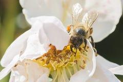 Primer de la flor de la rosa del blanco con una abeja Imágenes de archivo libres de regalías