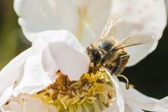 Primer de la flor de la rosa del blanco con una abeja Fotos de archivo
