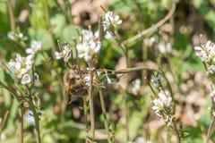 Primer de la flor de la rosa del blanco en un jardín con una abeja en la flor Imagen de archivo libre de regalías