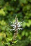 Primer de la flor de las barbas del gato. También se conoce como planta de Java Tea. Imagen de archivo libre de regalías