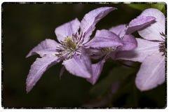 Primer de la flor de Lila del frente imagenes de archivo