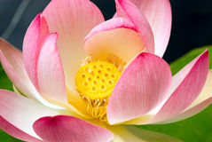 Primer de la flor de loto Foto de archivo libre de regalías