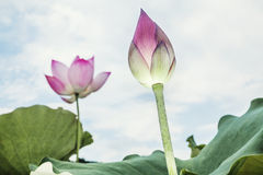 Primer de la flor de loto rosada, China Fotografía de archivo libre de regalías