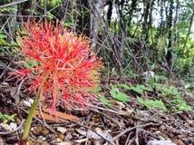 Primer de la flor de maravilla Imagen de archivo