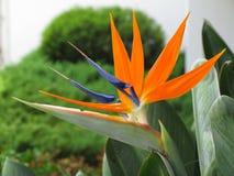 Primer de la flor de paraíso Foto de archivo libre de regalías