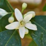 Primer de la flor del árbol de limón Fotos de archivo