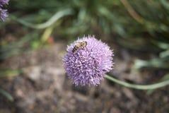 Primer de la flor del allium Imagen de archivo libre de regalías
