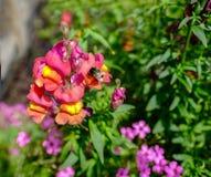 Primer de la flor del antirrino con una abeja que poliniza las flores Imágenes de archivo libres de regalías