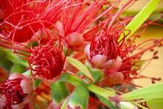 Primer de la flor del Bottlebrush Imagen de archivo libre de regalías