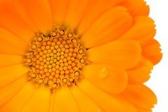 Primer de la flor del Calendula (maravilla de pote) en el fondo blanco fotografía de archivo