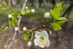 Primer de la flor del cerezo floreciente Fotos de archivo
