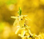 Primer de la flor del codeso en el flor Fotos de archivo