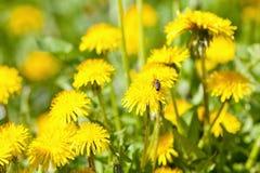 Primer de la flor del diente de león en el flor Imagen de archivo libre de regalías