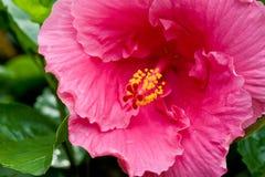 Primer de la flor del hibisco Imagen de archivo