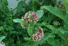 Primer de la flor del Milkweed que crece cerca de dillweed Fotografía de archivo libre de regalías