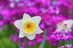 Primer de la flor del narciso Imagen de archivo