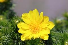 Primer de la flor del ojo del faisán s Fotografía de archivo libre de regalías