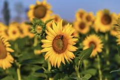 Primer de la flor del sol Foto de archivo libre de regalías