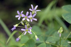 Primer de la flor del woodsorrel Fotos de archivo