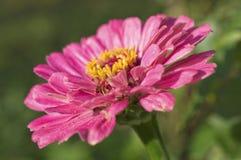 Primer de la flor del Zinnia Imagen de archivo libre de regalías