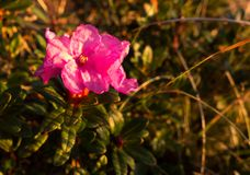 Primer de la flor en las montañas de Bucegi, rumano Cárpatos del rododendro imágenes de archivo libres de regalías