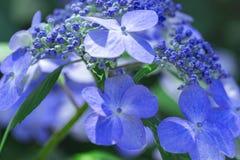 Primer de la flor de la hortensia fotos de archivo libres de regalías