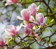 Primer de la flor de la magnolia en el flor Fotografía de archivo