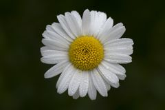 Primer de la flor de la margarita cubierto con descensos de rocío en fondo oscuro foto de archivo libre de regalías