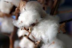 Primer de la flor natural del algodón Foto de archivo libre de regalías