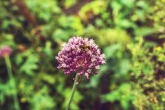 Primer de la flor púrpura con la abeja Follaje verde borroso en el CCB Foto de archivo libre de regalías