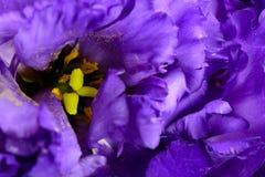 Primer de la flor púrpura del clavel Fotos de archivo libres de regalías