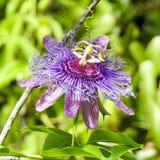 Primer de la flor de la pasión Foto de archivo